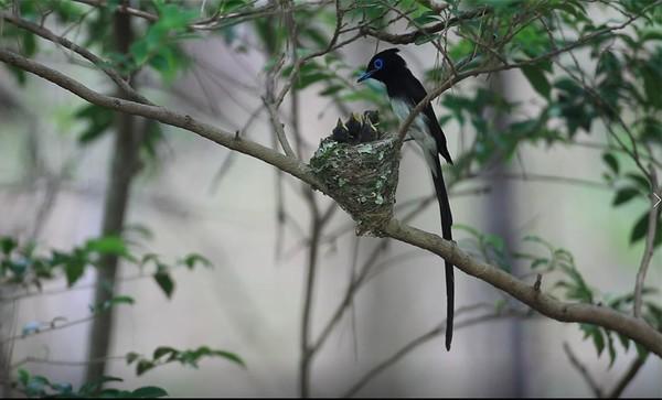 긴꼬리딱새 수컷 양육 사진(2021. 6. 경남 금산) /사진제공=국립공원공단