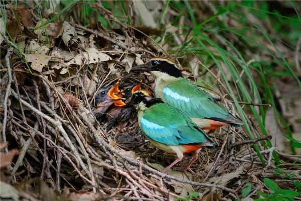 팔색조 수컷과 암컷 양육 사진(2021. 6. 경남 금산) /사진제공=국립공원공단
